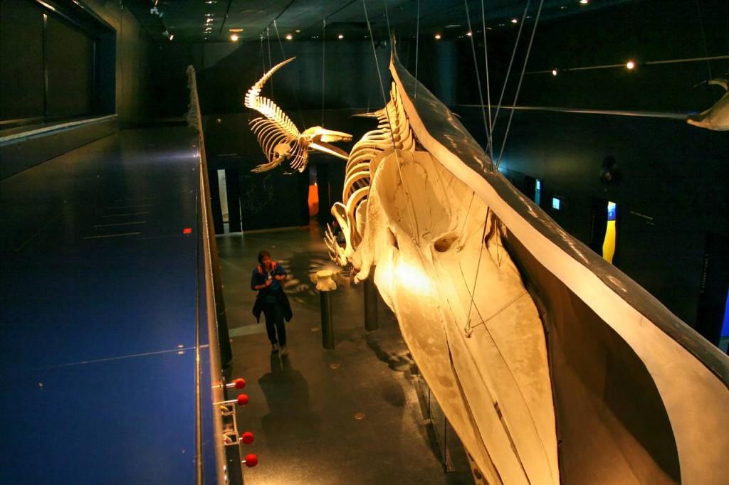 18m langes Pottwahl-Skelett im Multimar Wattforum